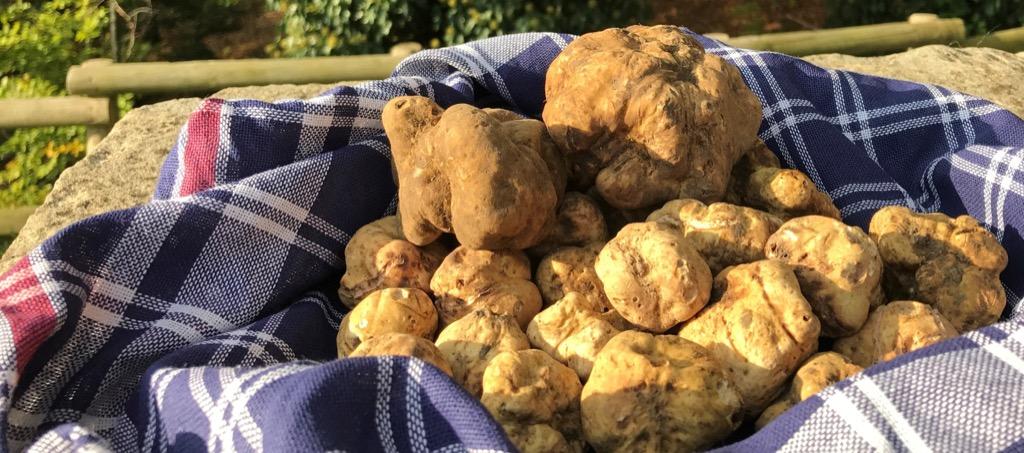 prized white truffle