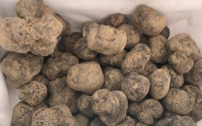 How to recognize the prized black truffle
